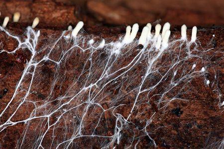 Грибок мицелий